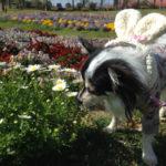 【犬連れ】 強風のマザー牧場 ドッグランへ
