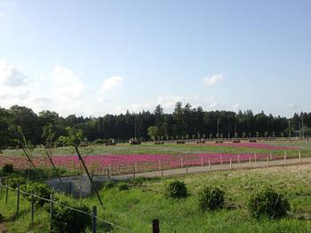 富田さとにわ耕園 芝桜