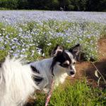 【犬連れ】 千葉でネモフィラ! 富田さとにわ耕園