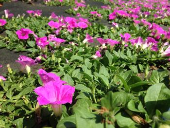 マザー牧場 花の谷 ペチュニア