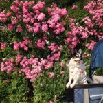 【犬を連れて】 ひめはるの里 茂原市 ドッグランとバラ鑑賞