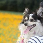 【茨城・犬とお出かけ】 筑西市の八重ひまわり畑 「明野ひまわりフェスティバル」