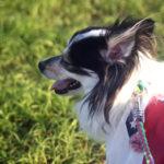 【千葉 犬と散歩】富田さとにわ耕園(千葉市若葉区)でコスモス鑑賞