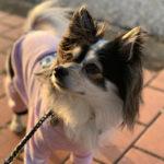 オーダーメイドの犬服作ってもらって手賀沼を夕散歩