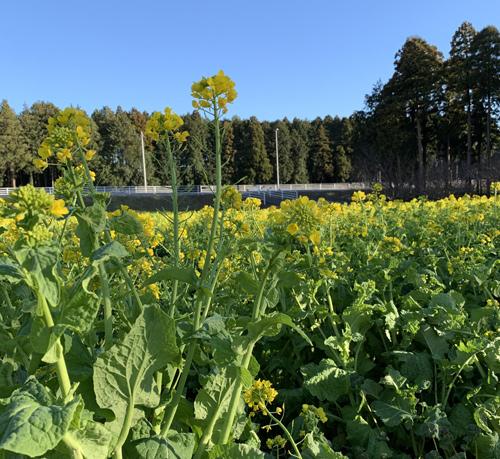 さんぶの森公園 菜の花