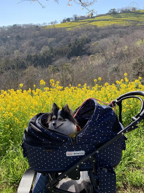 マザー牧場 東斜面 菜の花