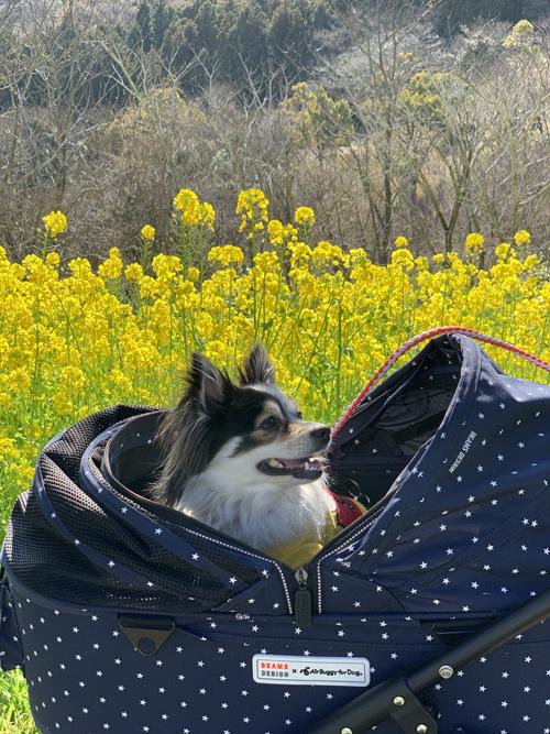 マザー牧場 菜の花 2019