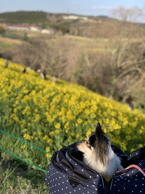 マザー牧場 犬連れ 菜の花 西斜面