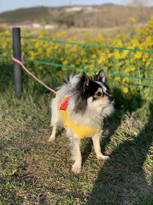 マザー牧場 犬連れ 菜の花