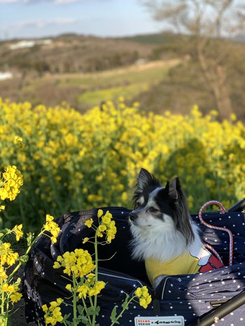 犬連れ マザー牧場 菜の花 2019