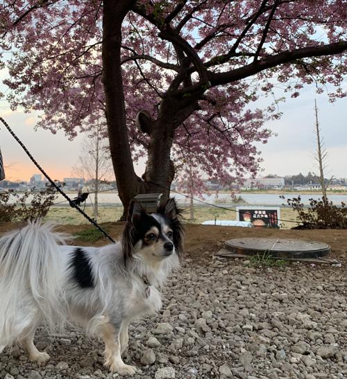手賀沼 河津桜