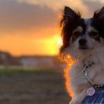 【千葉 犬とお出かけ】河津桜の咲く夕方の手賀沼を愛犬と散歩
