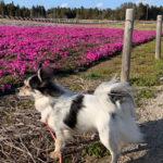 2019 富田さとにわ耕園の芝桜開花状況 犬連れ偵察