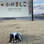 【犬連れドライブ】 益子で陶器・菜の花・桜祭りに遭遇