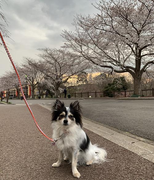 成田市 さくらの山 桜