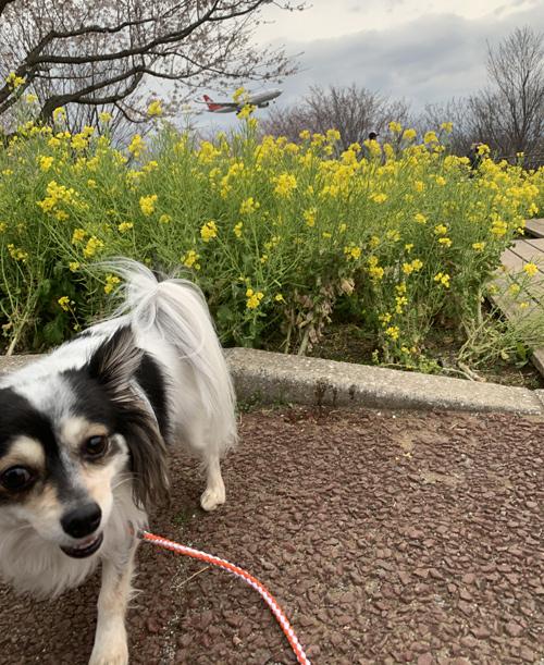 成田 桜の名所 「さくらの山」 犬連れ