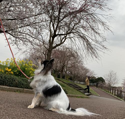 桜咲く「成田 さくらの山」犬連れ