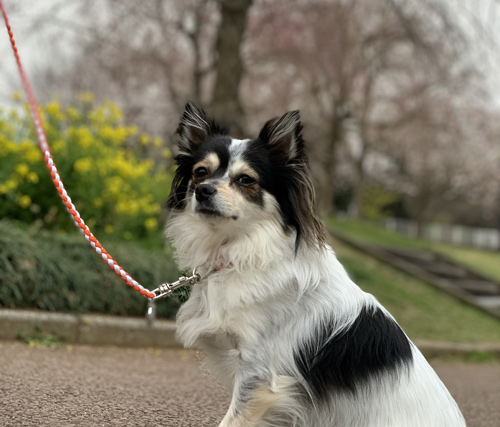 成田 さくらの山公園 犬連れ