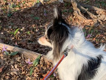 筑波山 カタクリの花 犬連れ
