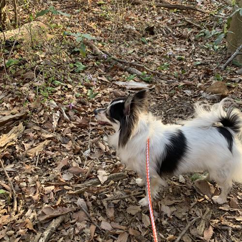犬連れ登山 筑波山 カタクリ