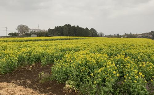 富田さとにわ耕園 近隣の菜の花畑