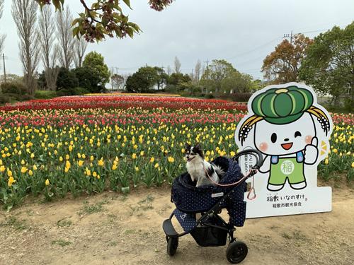 稲敷市 浮島 和田公園 チューリップまつり 犬とお出かけ