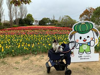 茨城 稲敷市 チューリップ祭り 犬とお出かけ
