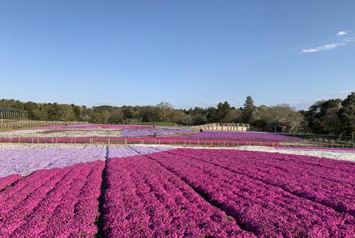 富田さとにわ耕園 芝生の広場からシバザクラ