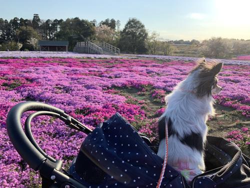 エリア④付近の芝桜