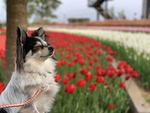 チューリップと愛犬