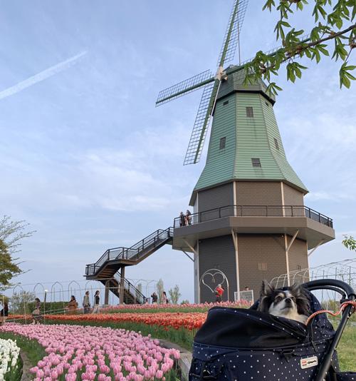霞ヶ浦公園の風車前のチューリップ