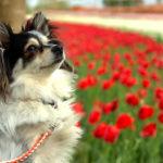 【茨城 犬とお出かけ】霞ヶ浦総合公園の風車とチューリップ