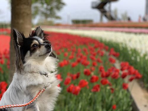 茨城 犬とお出かけ 霞ヶ浦総合公園のチューリップ