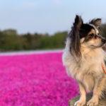富田さとにわ耕園のネモフィラは見頃・芝桜は満開!犬と開花情報調査