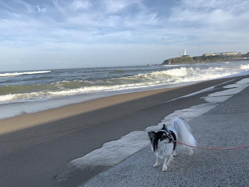 君ヶ浜、犬連れ散歩