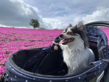 マザー牧場のペチュニアと紫陽花の開花状況2019