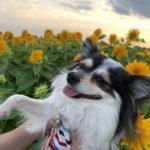 【茨城・犬連れ】筑波山をバックに咲く筑西市の八重ひまわり100万本!
