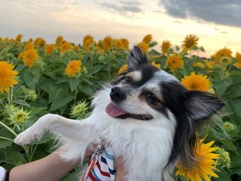 茨城県筑西市のあけのひまわりフェスティバル 犬連れ