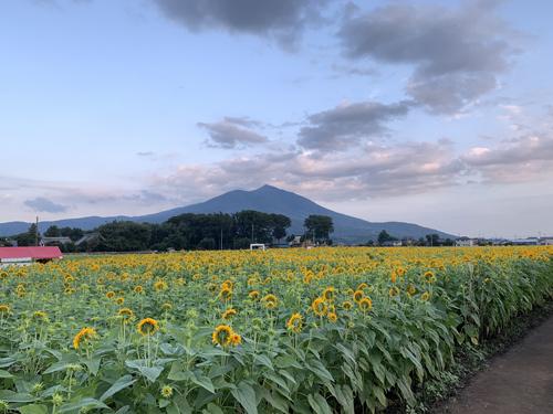 筑波山をバックに咲く八重ひまわり