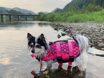 茨城県の久慈川で犬と水遊び