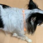 愛犬との夜の散歩も安心!光るLED首輪を新調しました