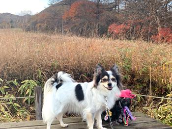 霧降高原キスゲ平園地へ犬連れ