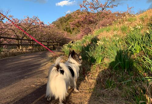 佐久間ダム 水仙と河津桜 犬連れ