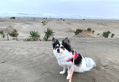 九十九里浜 犬と散歩
